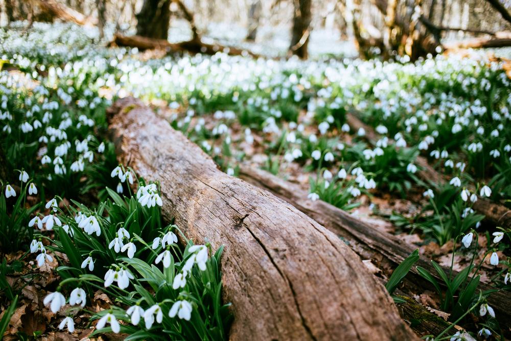 március 15, hóvirág