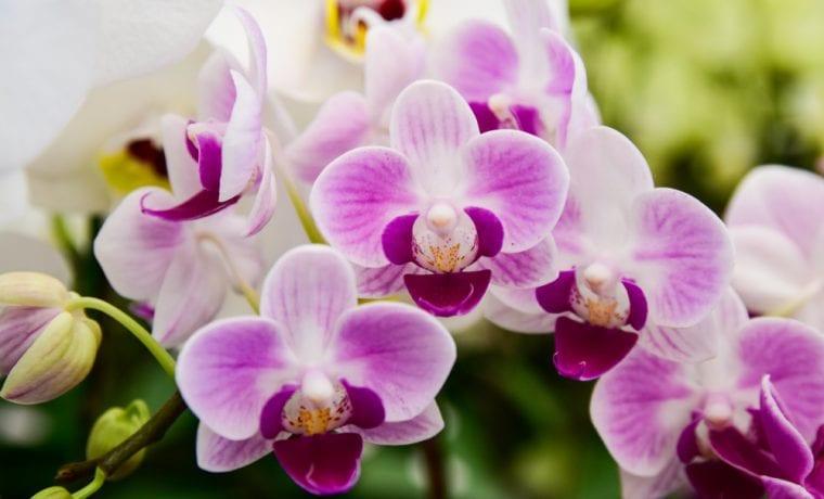 a2 millió orchidea