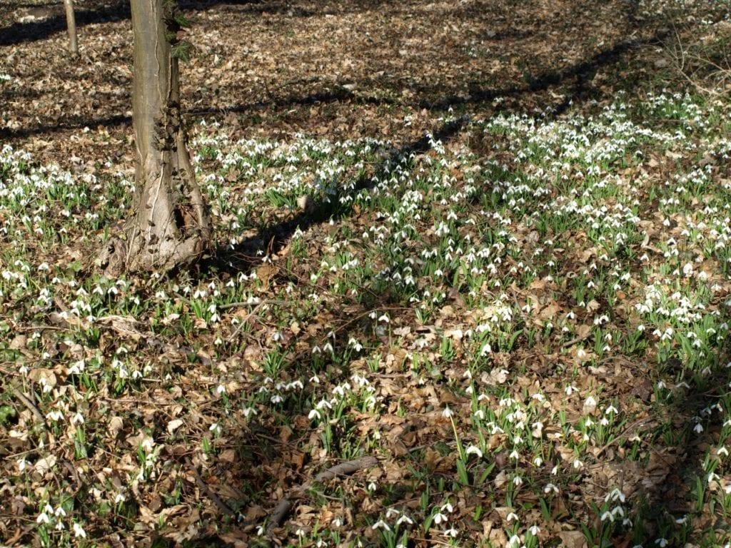 Ne maradj le az Alcsúti Arborétum Hóvirágünnepéről!