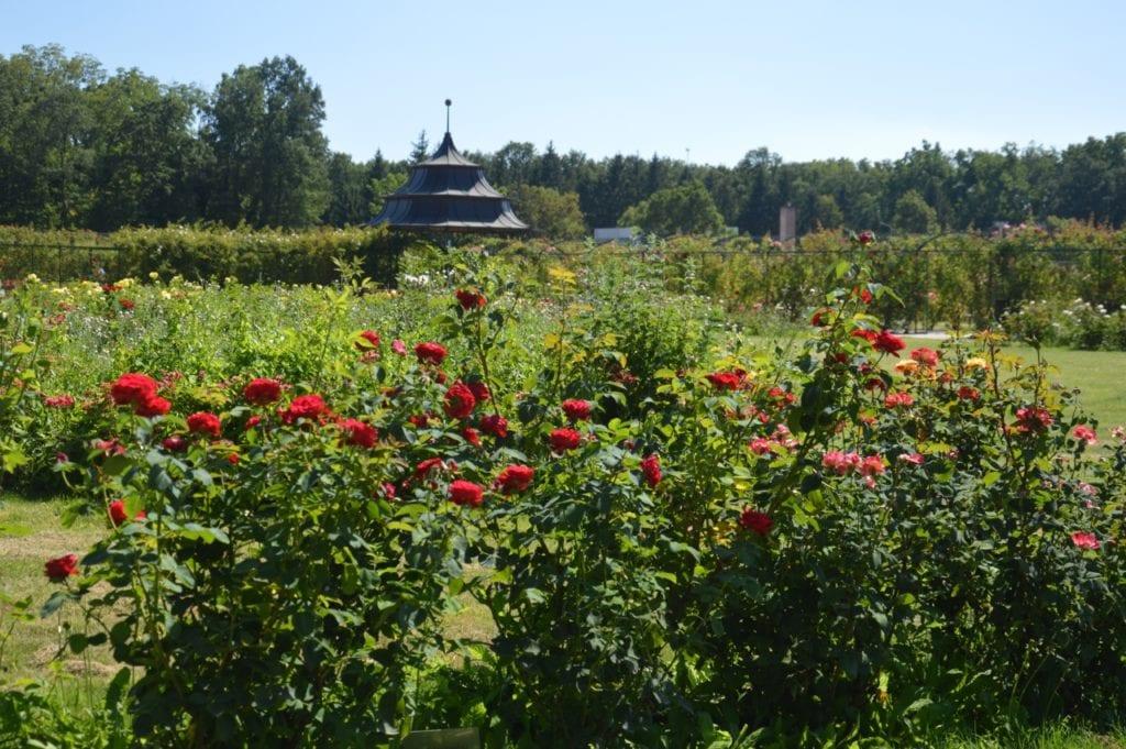 8000 tő rózsa nyílik Cziráky Margit rózsakertjében
