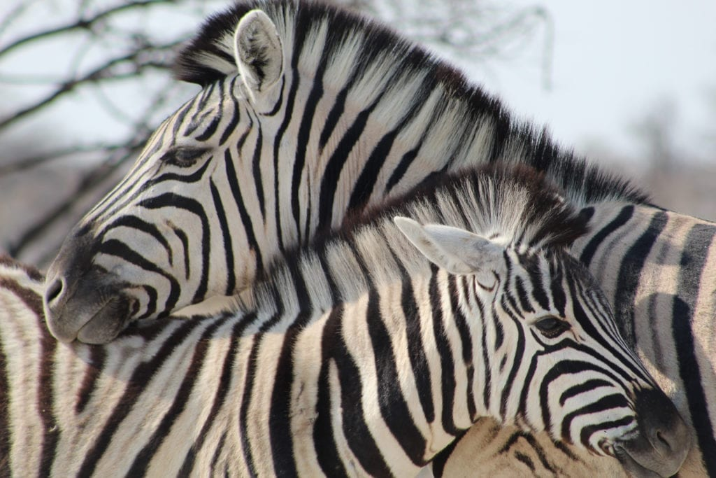 Május 20-án nyit az első szafari park Magyarországon