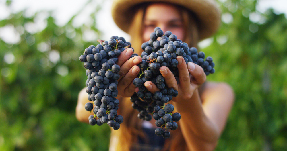 Érik a szőlő, hajlik a vessző - Szüreti mulatságok az egész családnak