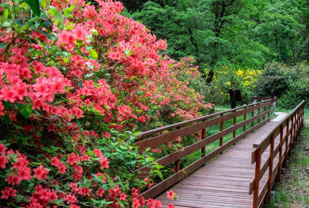 Virágos tavaszi élmények – Tulipán, rododendron, és vérszilvavirágzás